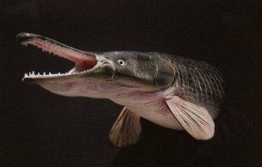 鱷雀鱔可以吃嗎1
